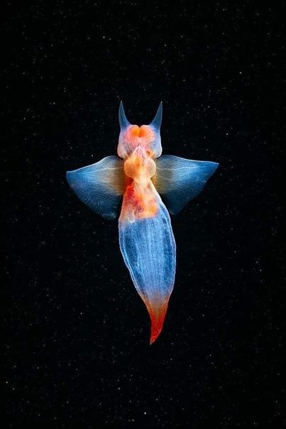 Морской биолог Александр Семенов не только ученый, но и прекрасный фотограф! Во время погружения в Белом море Александру удалось сделать потрясающие кадры морского ангела. Эти моллюски до сих