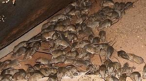 Мыши меняют норы