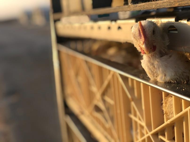 Франция запретит убийство цыплят мужского пола в яичной промышленности, изображение №1