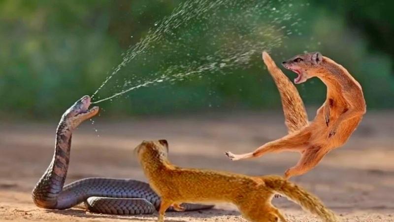 Версус! ЗМЕЯ ПРОТИВ мангуста варана медоеда. Змея в деле!