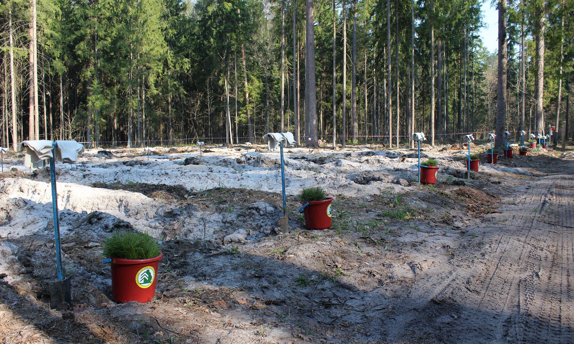 Воспроизводство брянских лесов захромало
