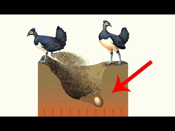 Sau khi chôn quả trứng xuống lớp đất sâu chim bố mẹ bỏ đi biệt xứ