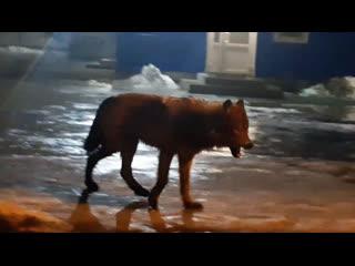 Волк в Архангельске