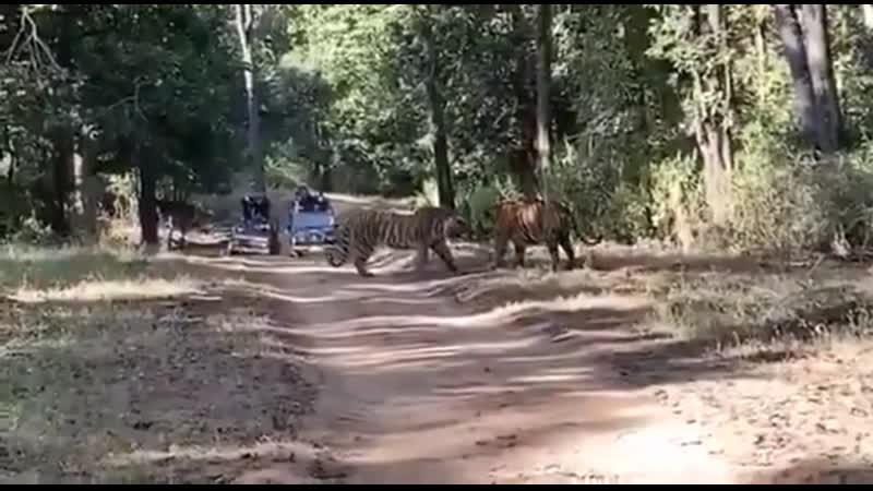 Яростная схватка двух тигров в Индии попала на видео