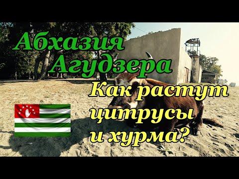 Абхазия Агудзера Как растут цитрусы и хурма