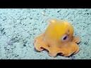 Биологи засмущали маленького осьминога