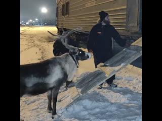Олени из тундры едут на новогоднюю ёлку в Москву