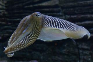 cute cuttle fish - HD3325×2180