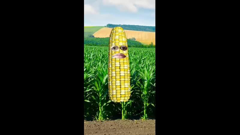 Симфиня початка кукурузы