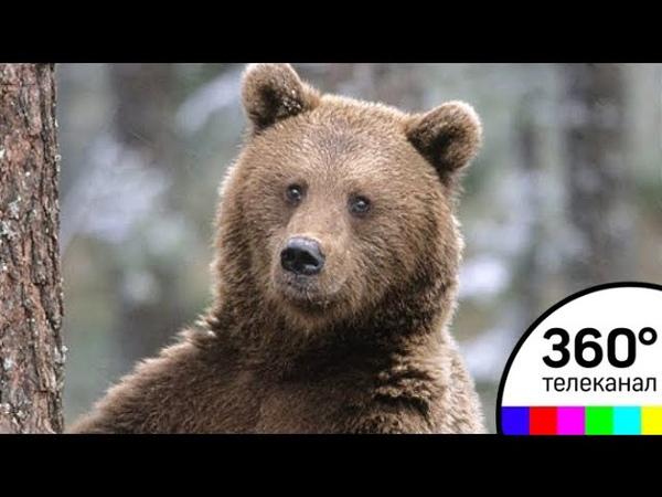 В Подмосковье засняли на камеру семью бурых медведей. Видео