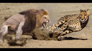 Самый быстрый сухопутный хищник в мире. Гепард в деле! Гепард против льва, крокодила, страуса, и др.