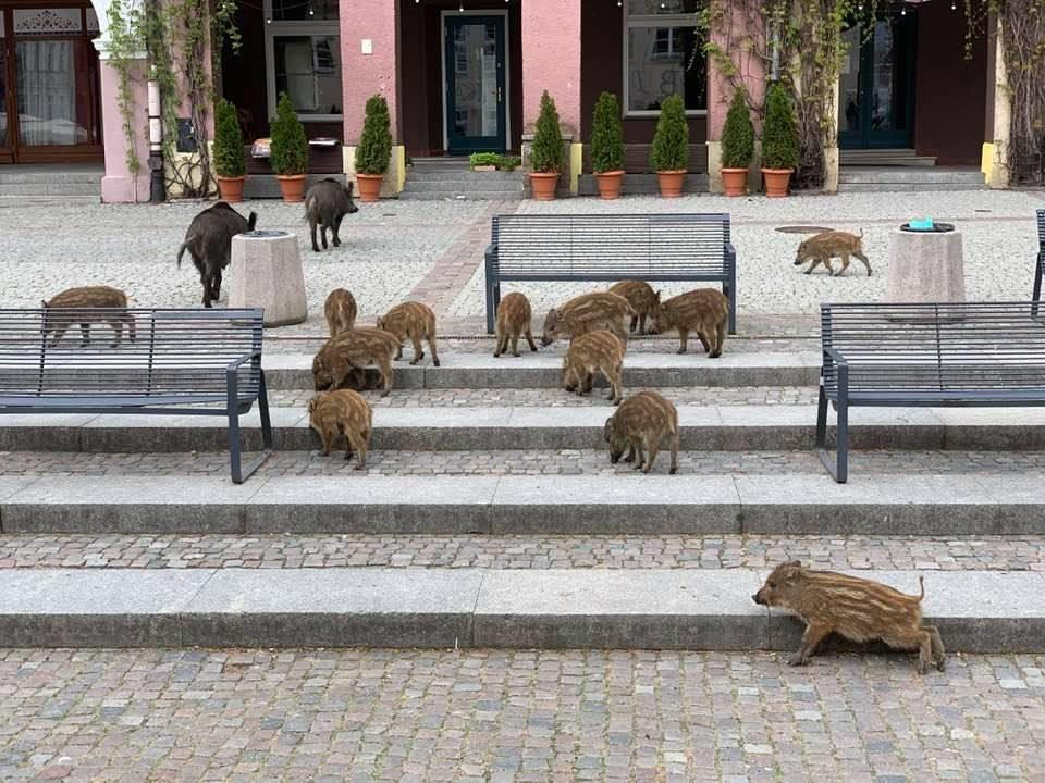 Свиньи в городе