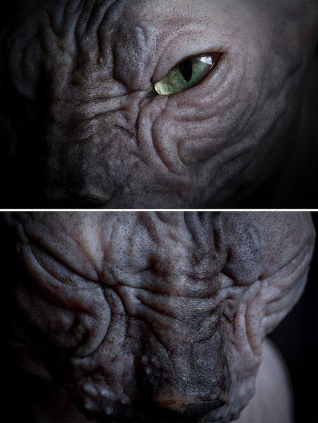 Сфинкс Одна из нескольких бесшерстных пород кошек. При выведении породы была закреплена естественная рецессивная мутация, приводящая к отсутствию шерсти - hr. В нынешний момент это полностью