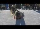 Собачьи бои Алабай Мощная концовка