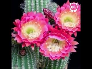 Hypnotic Cactus Flowers Blooming Time Lapse _ Bored Panda Art
