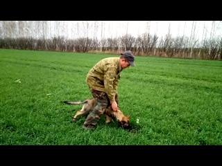 Следовая работа с щенком немецкой овчарки