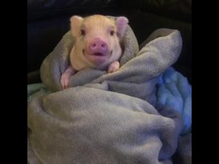 Поросенок в одеялке смотрит фильм