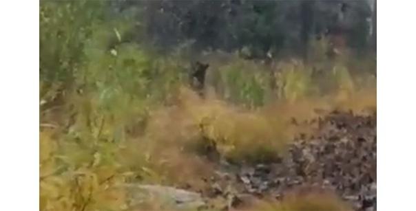 Инспектор нацпарка встретился с голодным медведем ...
