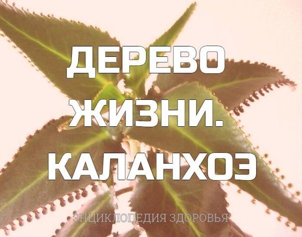 Издавна каланхоэ называют деревом жизни