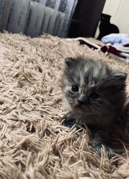 Котёнок только в добрые руки🙃от вислоухой шотландс...
