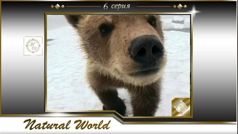 BBC Мир Природы Жизнь рядом с Гризли 6 серия Natural World 06 02 12 09