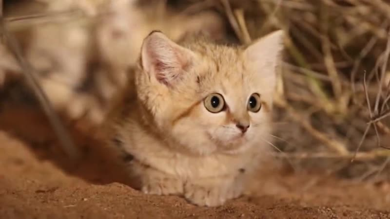 Барханный кот эксперт по выживанию в пустыне Интересные факты о барханной кош